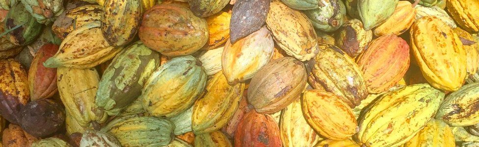 Cocoa pods in Ivory Coast