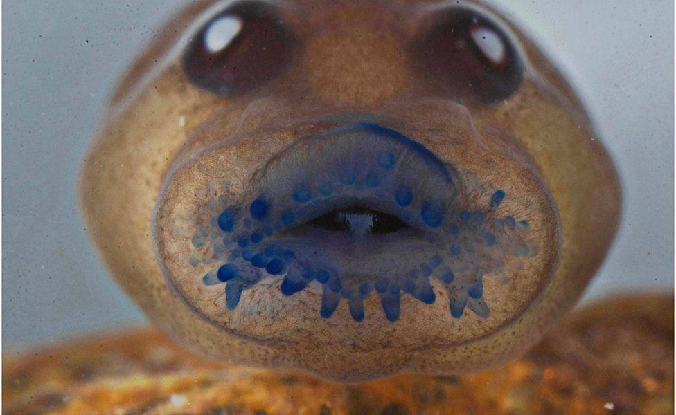 A tadpole's face