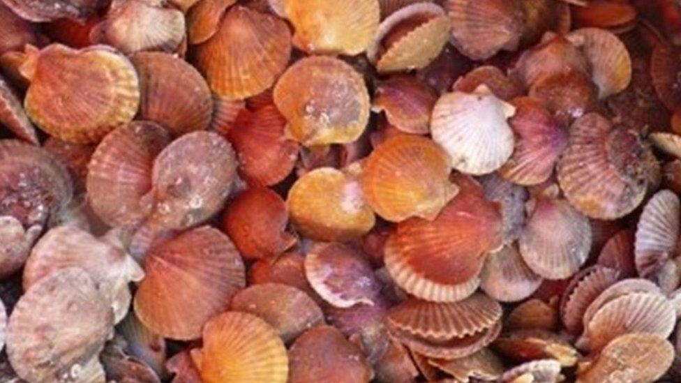 Queen scallops in shells