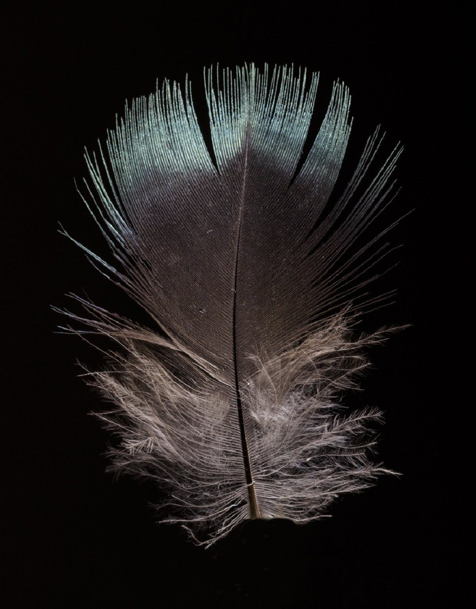 Male feather