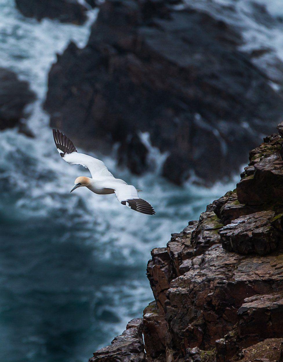 Gannet flying near cliffs