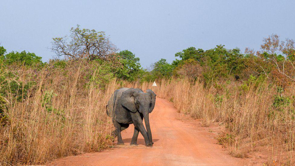 An elephant in Burkina Faso