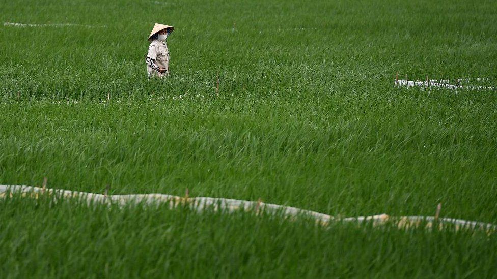 A woman in a rice field in Vietnam