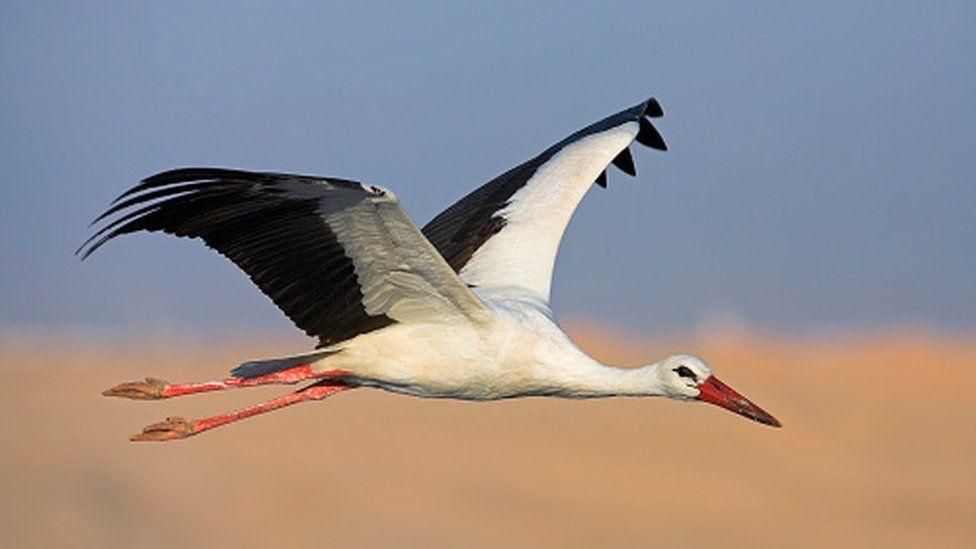A white stork in flight