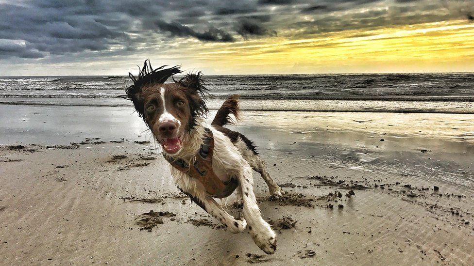 Fly the spaniel on Harlech beach