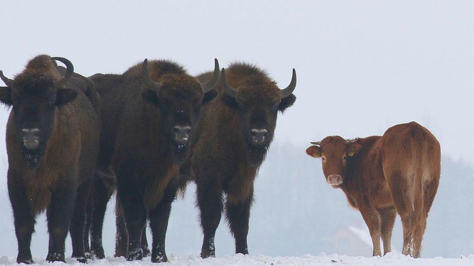 Cow among wild bison, Poland, January 2018