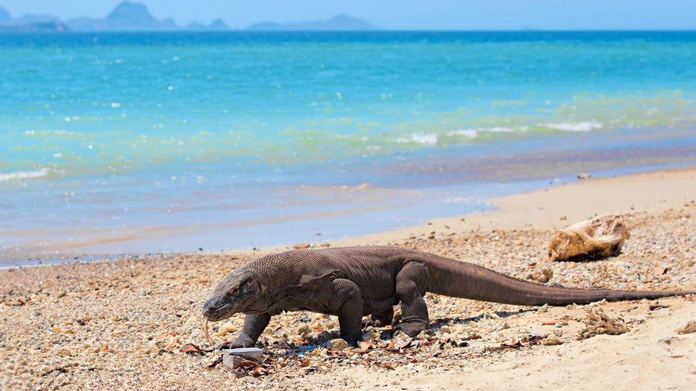 Un dragón de Komodo en la playa