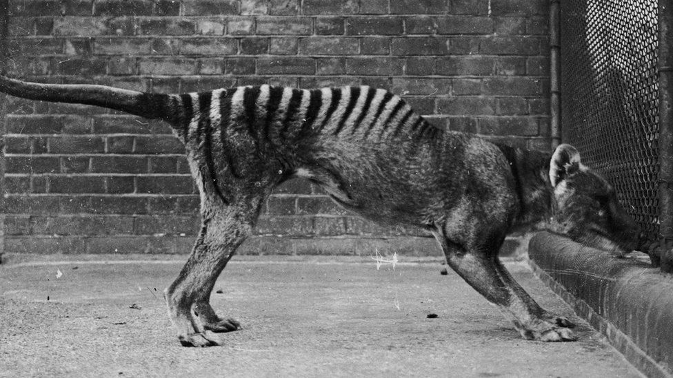The last captive Tasmanian Tiger died at Hobart Zoo in 1936