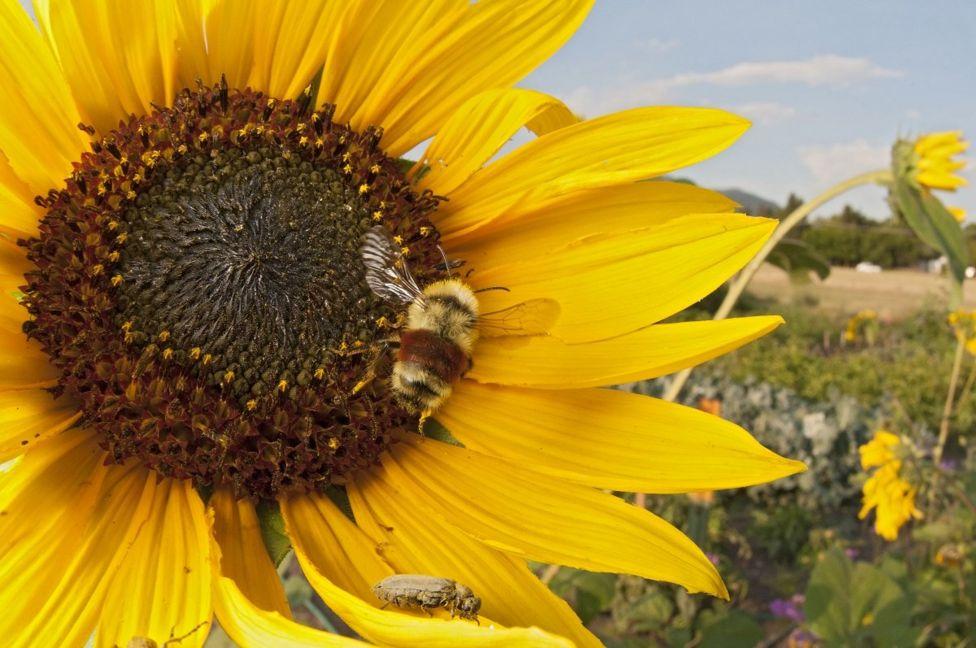 Un girasol grande con una abeja en el centro.