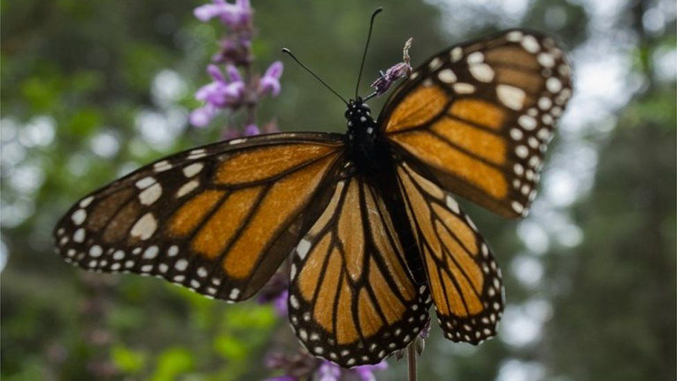 A Monarch butterfly (Danaus plexippus) is pictured at the Sanctuary of El Rosario, Ocampo municipality, Michoacan state, Mexico, on February 3, 2020.