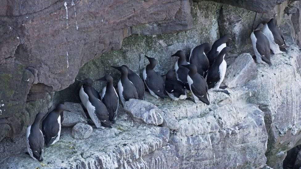 Common Guillemots on breeding ledge, Handa Island, Scotland