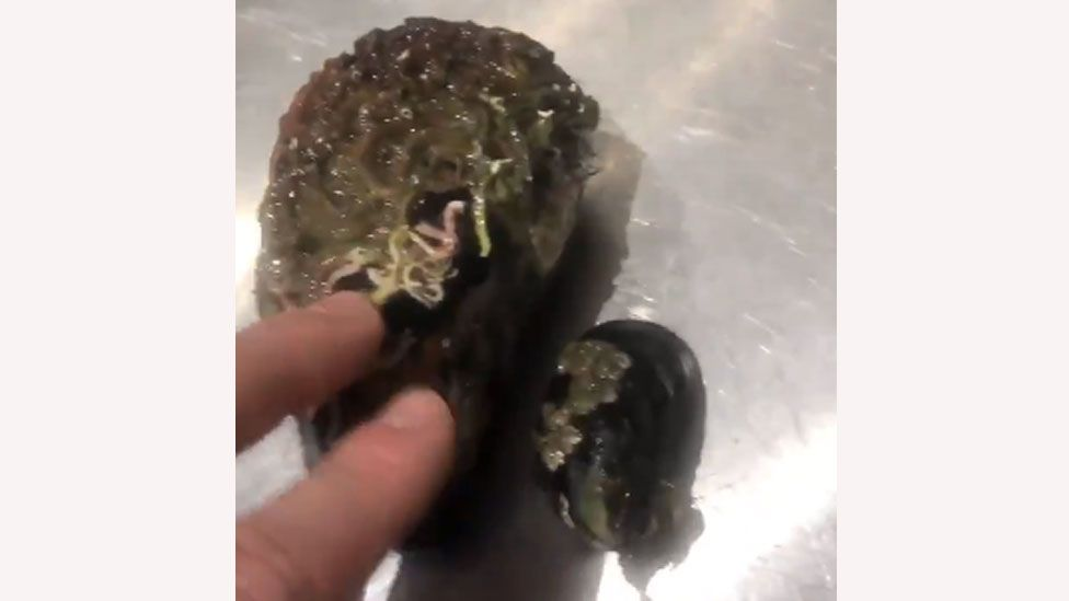 Clappy-doo, left, and regular sized mussel