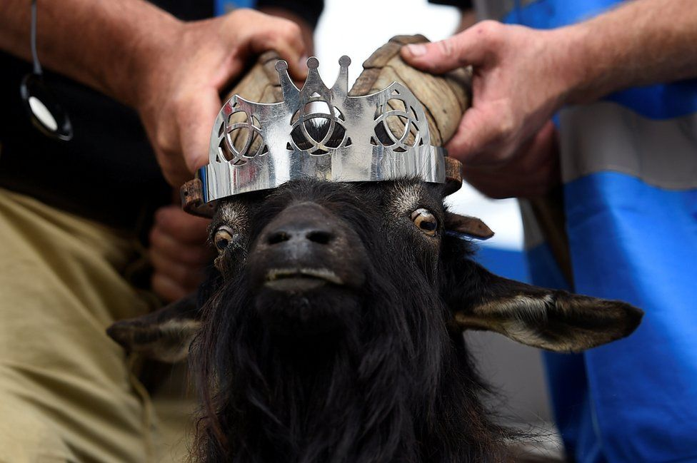 A goat has a crown placed on its head, 10 August 2017.