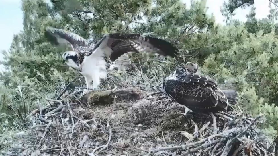 osprey chick fledges