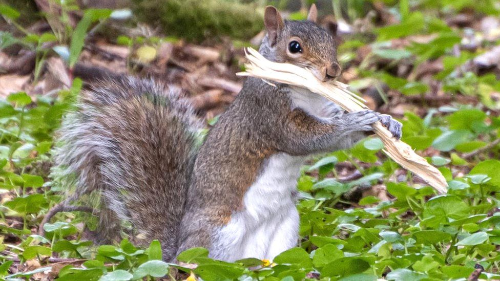 Squirrel with piece of wood