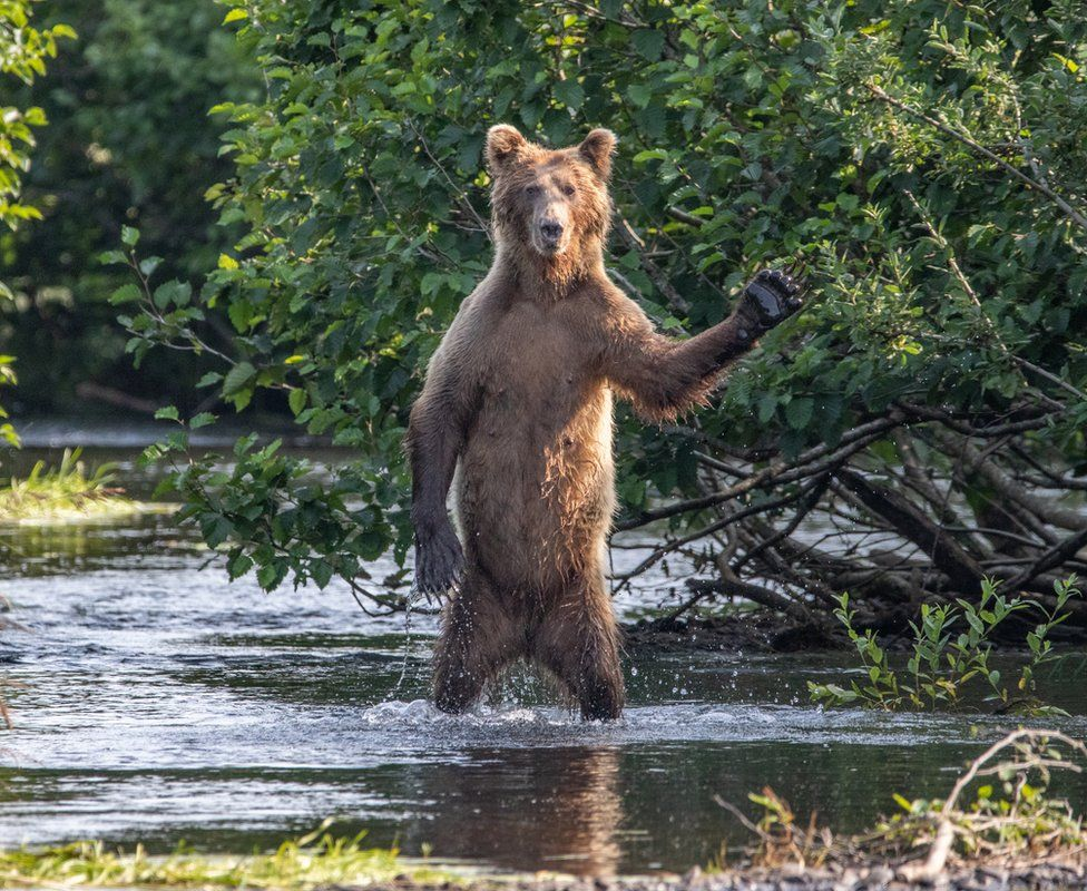 A bear holding up its paw and looking up at the camera