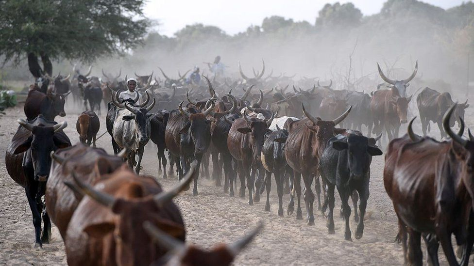 Cows are herded close to the village of Guite in Chad's lake region, north of the capital on 30 March 2015