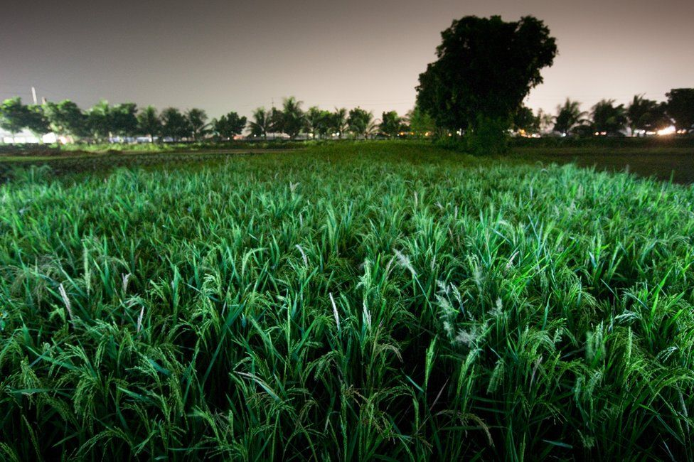 A rice paddy field in Bangladesh. Paddy field. Part of 'Crossfire', a photo story by Shahidul Alam. November 17, 2009.