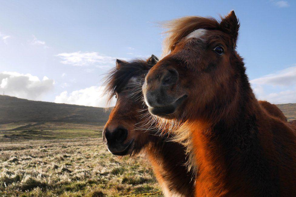 Shetland ponies on Unst this week