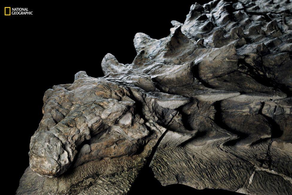 Foto del nodosaurus hallado en Canadá