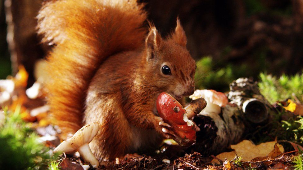 A red squirrel eating a toadstool