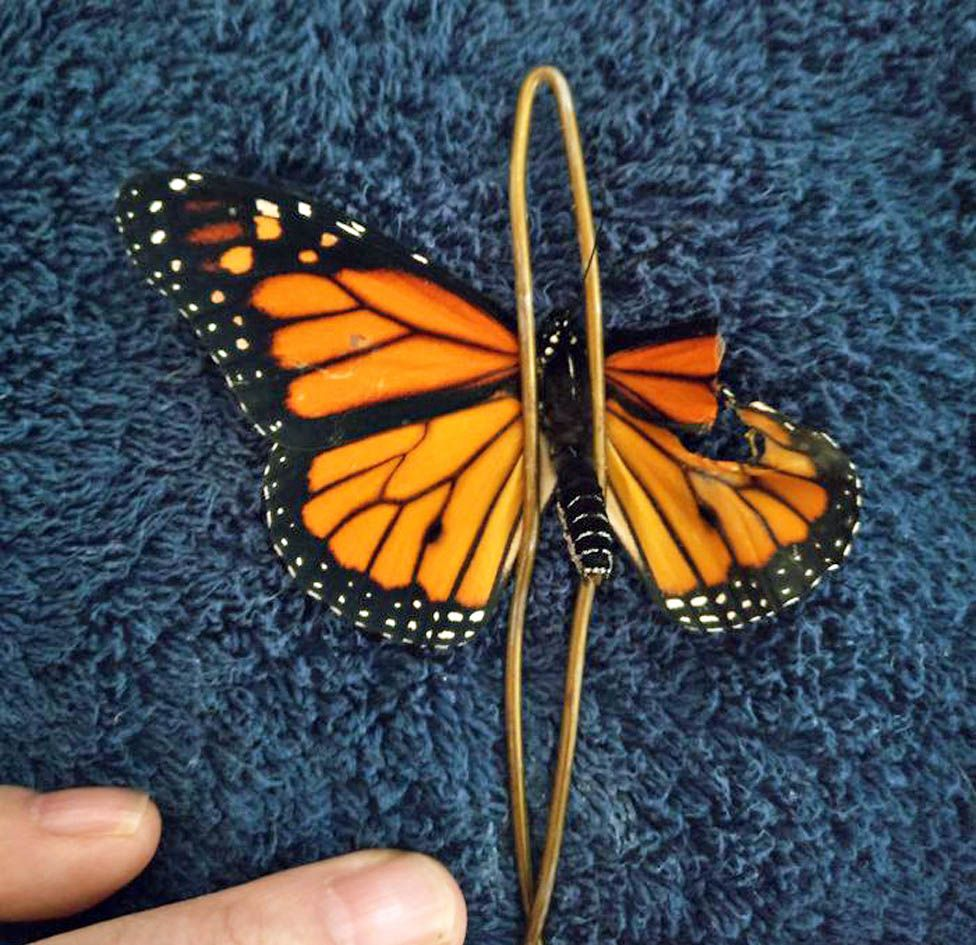 Butterfly pinned by wire