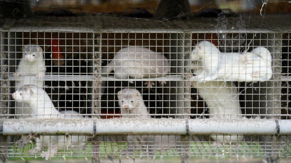 Caged mink on a farm in Gjoel, North Jutland, Denmark, on 9 October 2020