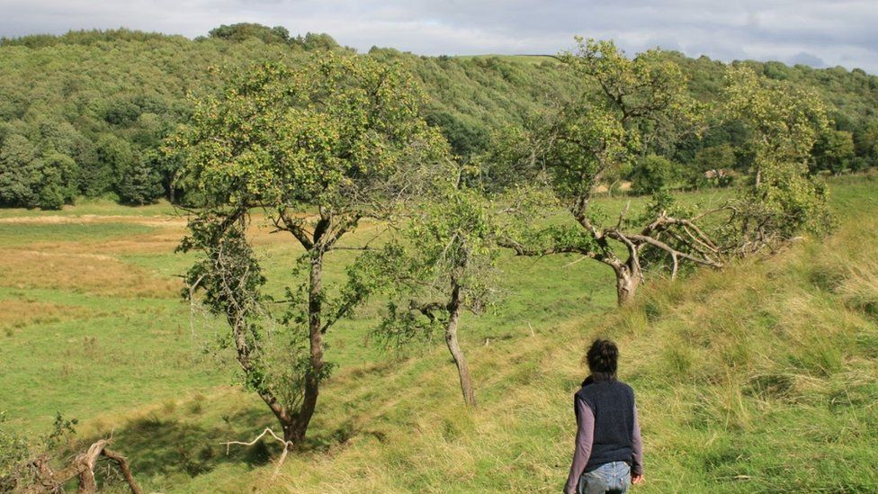 Remnants of an orchard in a field border in South Lanarkshire