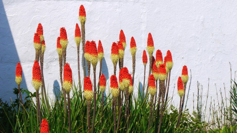 Red-hot pokers