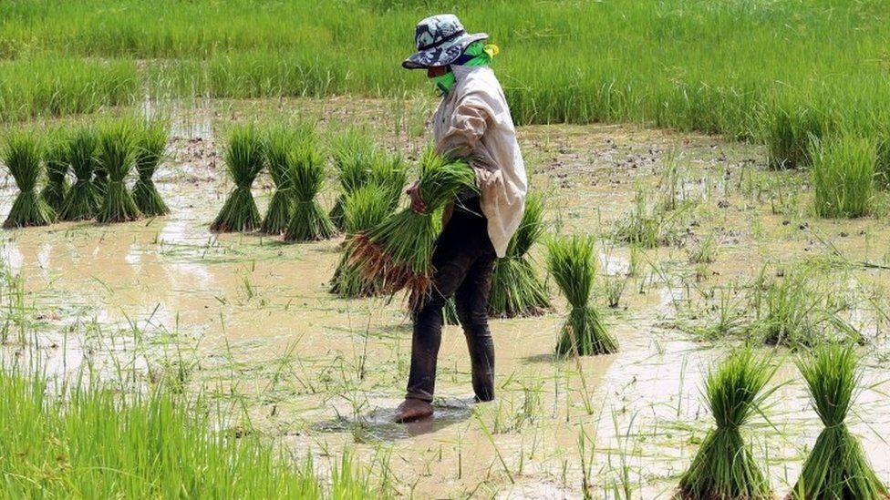 A woman works in a rice field in Khon Keen, Thailand