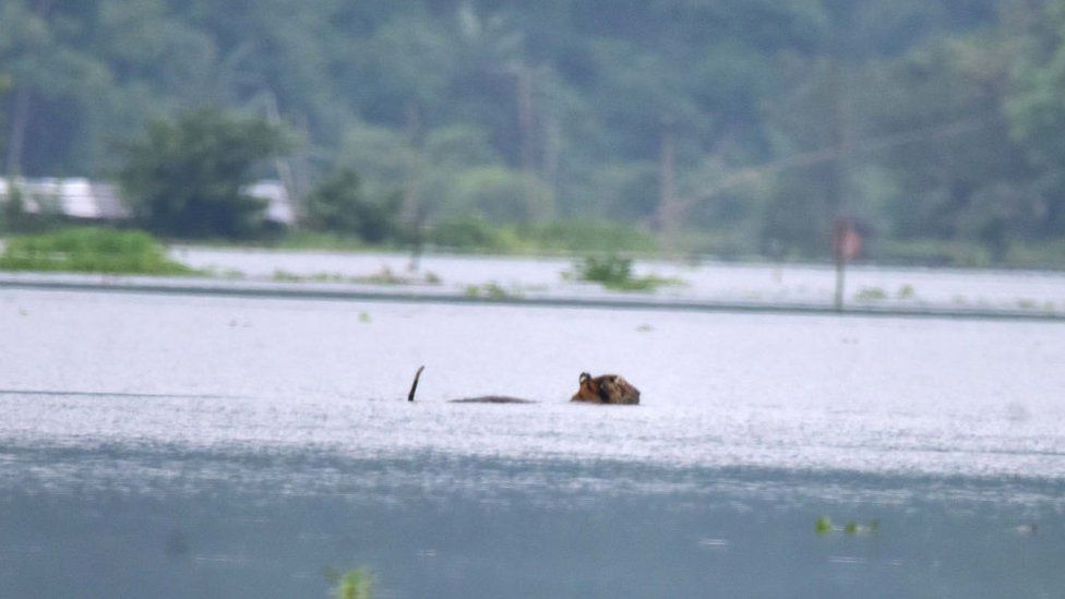A tiger wades through a flooded area in search of higher land near Kaziranga National Park, at Baghmari village in Nagaon district of Assam.