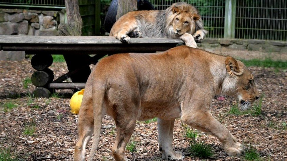 The lions Malor and Lira (front) in Eifel zoo in 2016