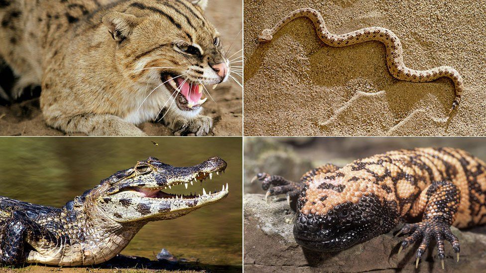 Wild Animals At Uk Homes Include Lions Zebras And Crocodiles Bbc News