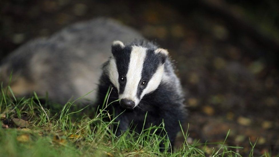 Badger cull extended to 11 new areas of England - BBC News