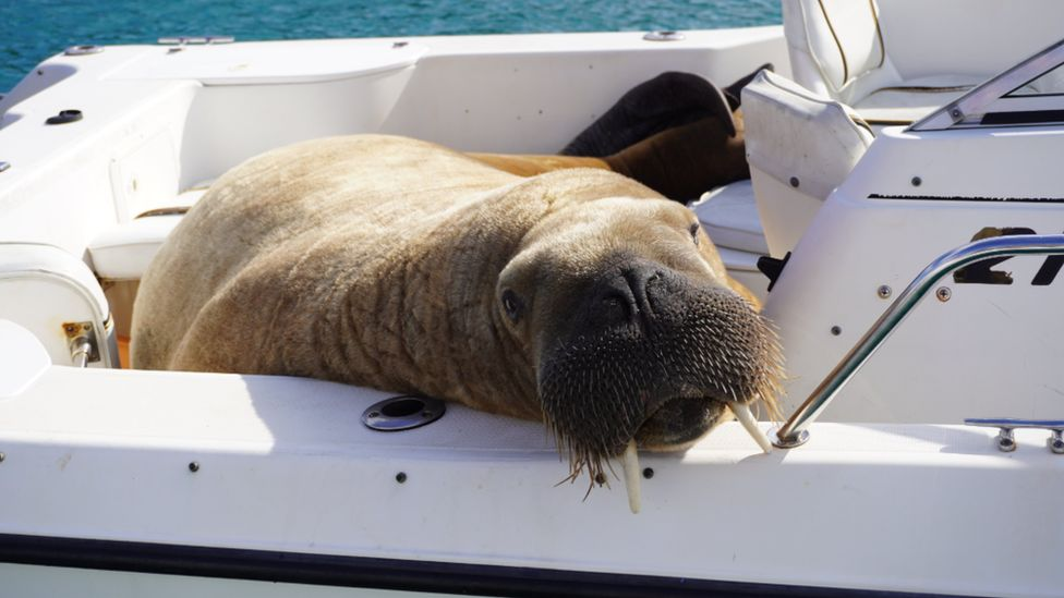 Wally the walrus on a boat