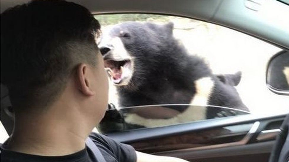Picture of a Chinese visitor to the Badaling Wildlife Park encountering a bear attack