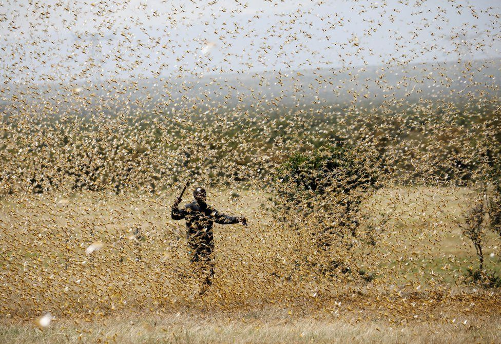 A man holds a stick to fend off a swarm of desert locusts