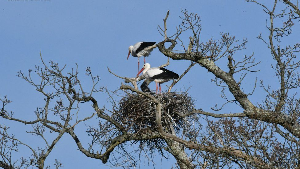 Storks on the first nest which now contains five eggs