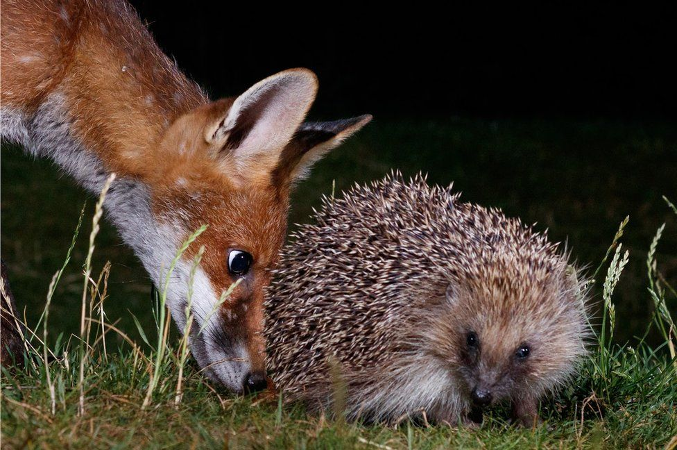 A young fox sniffs a hedgehog at night time in a garden in Amersham, England