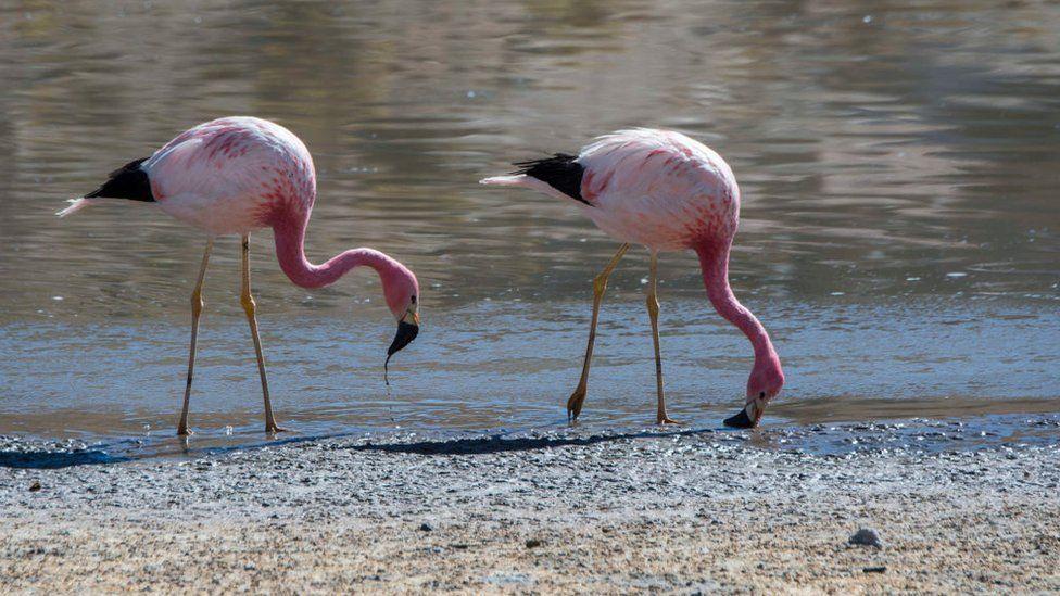 Flamingos in wetter part of the desert