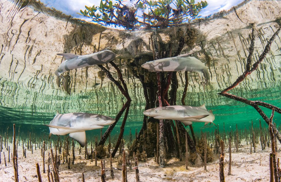 baby lemon sharks in a mangrove in the Bahamas