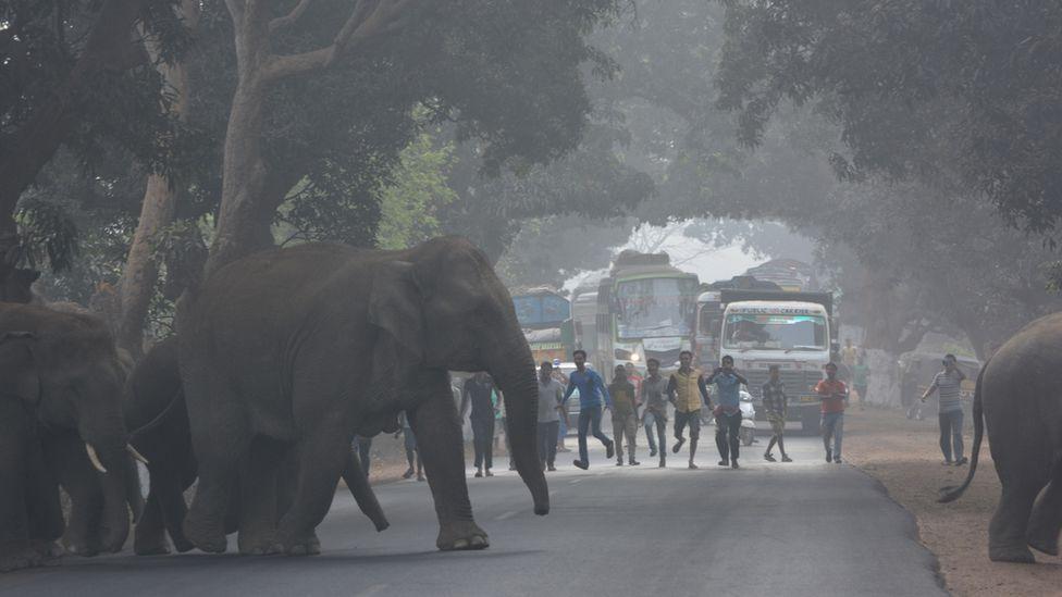 elephants crossing a road in Orissa