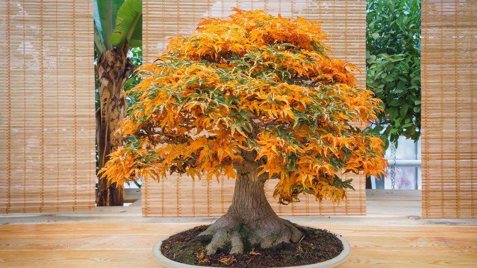 Donos de bonsais valiosos roubados dão dicas a ladrões sobre como cuidar de árvores-miniaturas
