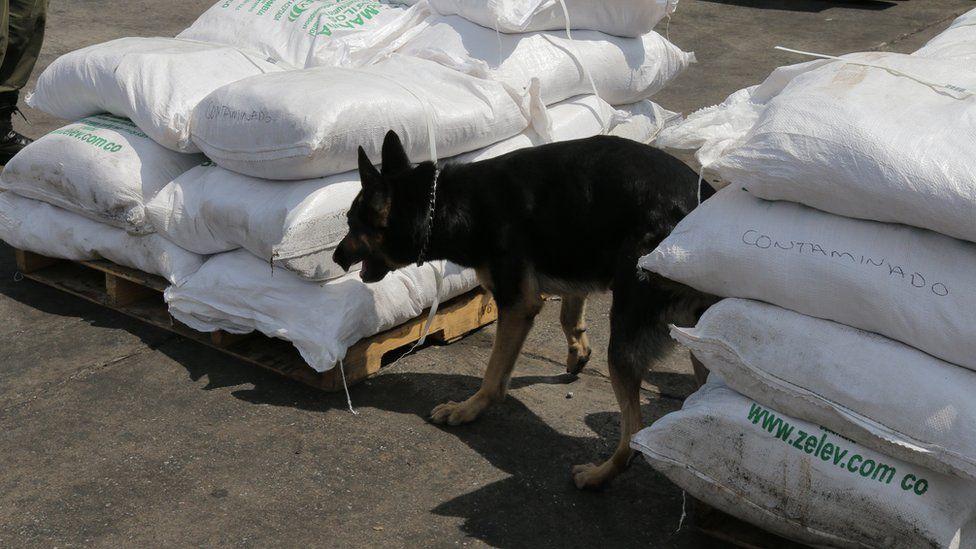 Colombian police drugs dog checks sacks