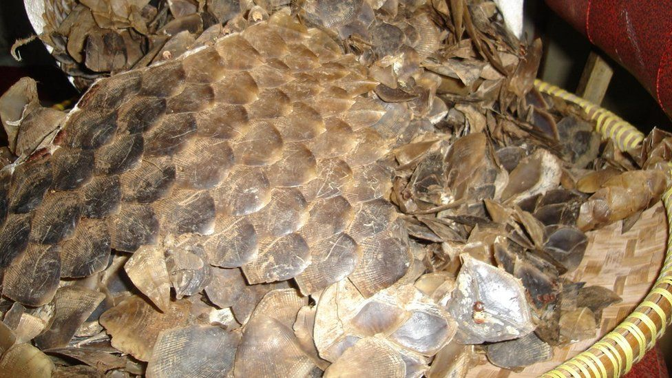 Pangolin scales intercepted on Borneo