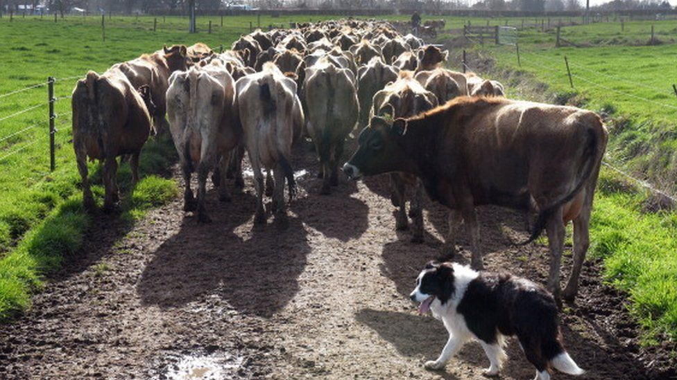 Cows being herded in New Zealand