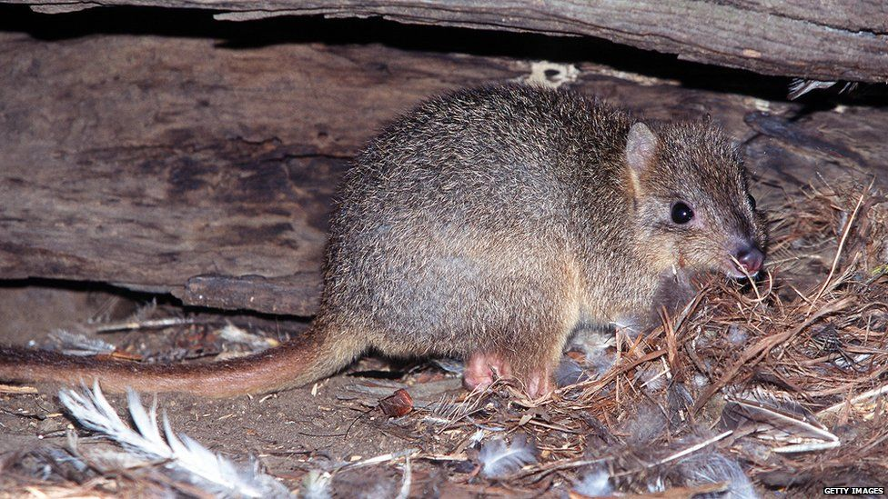 A rare Burrowing Bettong (Bettongia lesueur harveyi) hides under a hollow log near Cygnet River on Kangaroo Island 14 April, 1999 having been driven to extinction on mainland Australia by foxes and feral cats.