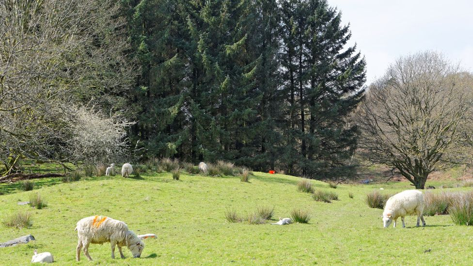 Sheep and woodland in Snowdonia