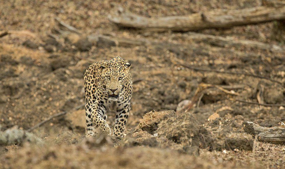 A leopard walks towards the camera.