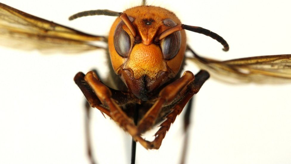 Close-up of Asian giant hornet
